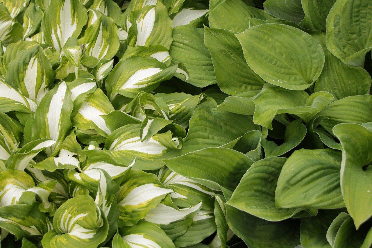 Hosty-Funkie - ozdobne rośliny nie tylko do ogrodu skalnego 1