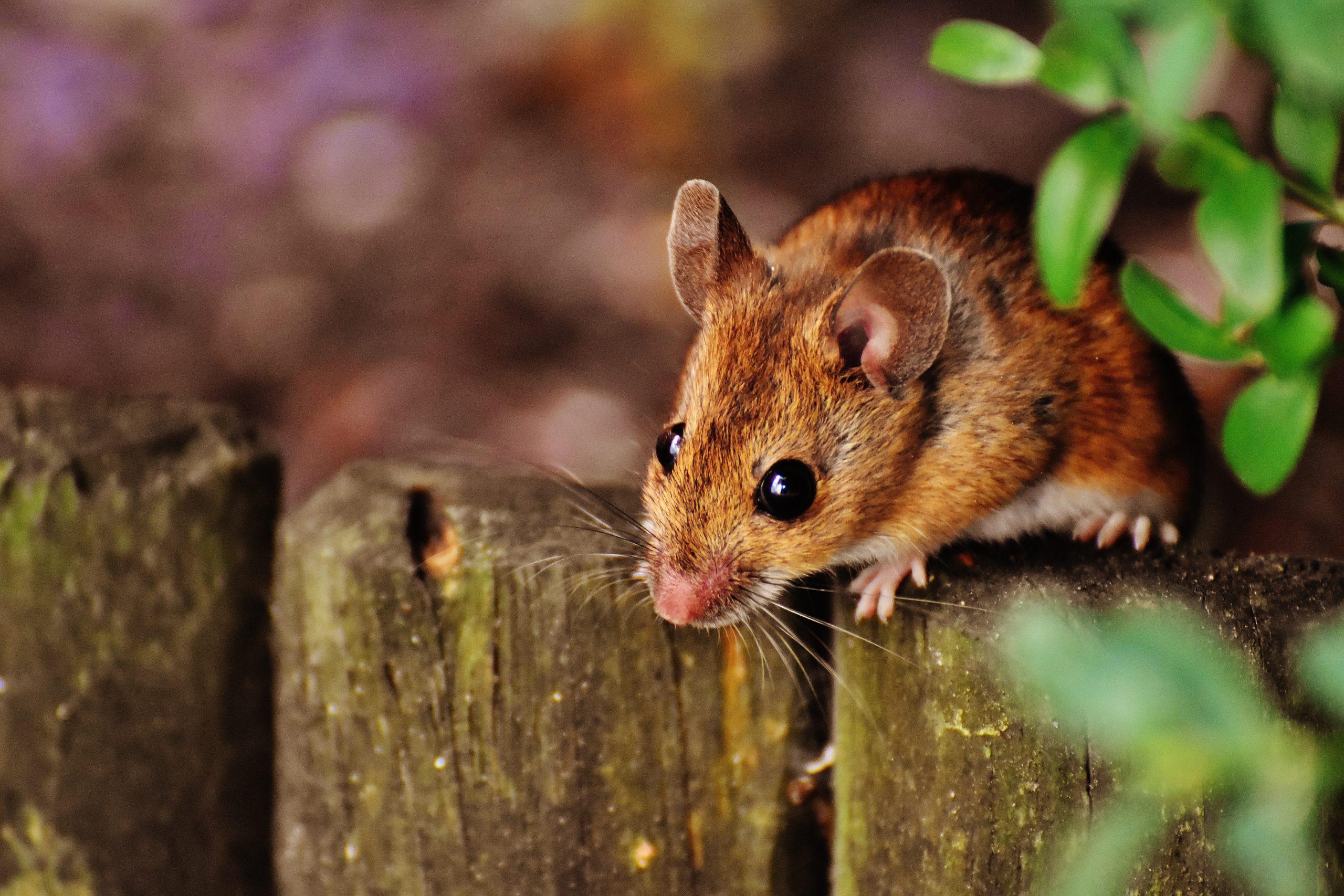 Myszy w domu i piwnicy? Co zrobić, aby się ich pozbyć? 1