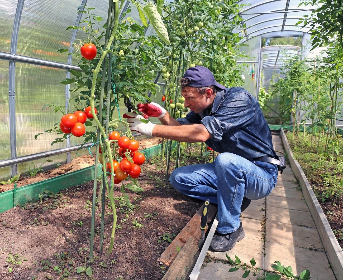 Przycinanie pomidorów - podstawowe zasady i korzyści 1