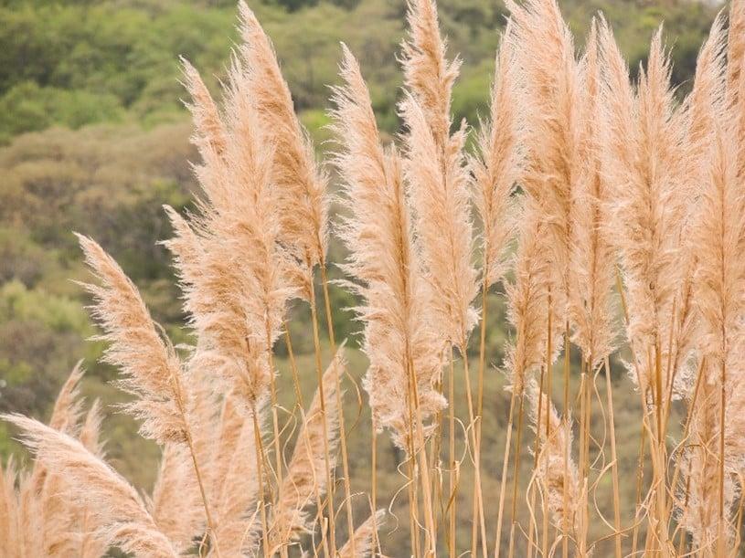 Trawa pampasowa – popularna dekoracyjna trawa ogrodowa
